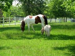 Pasture... (Flutterbye_856) Tags: horse green nature ilovenature appaloosa spring pony pasture