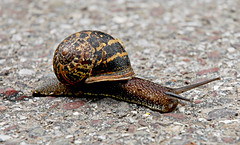 Slow progress (Buileshuibhne) Tags: nature slow plateau shell snail frustration slimy