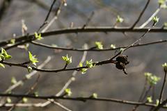 Each Bud Must Blossom And Grow (talpaz) Tags: nature spring blossom bud photodotocontest1