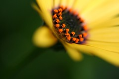 Ring of Fire (code poet) Tags: orange black flower macro beautiful yellow wow bokeh 100v10f 100mm africandaisy osteospermum apexmacro
