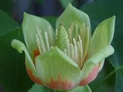 Tulip Poplar (Brujo) Tags: