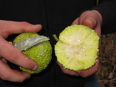 This is what a hedge apple looks like on the inside (terryhadalittlelamb) Tags: ohio david london apple hedge oh bub