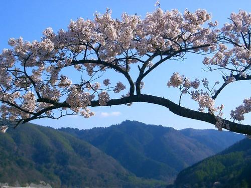 sakura © flickr.com/sheffnermarc