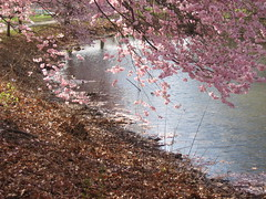 Pink on the Creek (Bluepeony) Tags: city pink flowers blue trees light urban flower color colour reflection tree nature water colors alberi reflections river landscape ilovenature spring colours blossom blossoms may peaceful naturallight blumen bloom april blume landschaft oww floweringtree herterpark theworldthroughmyeyes twtme