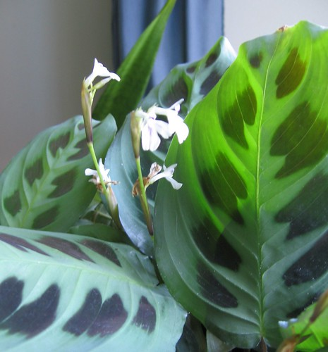sometimes called the 'prayer plant'
