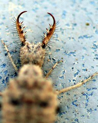 Roar of the Antlion (JoelDeluxe) Tags: insect albuquerque nm joeldeluxe antlion larva