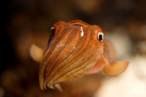 A Friendly Face -- animal chattanooga aquarium cute tennessee art cuttlefish planet cephalopod squid ipernity prospect