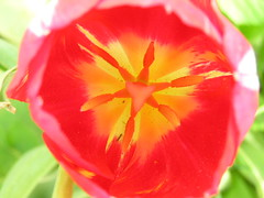 Inside Of Dark Rembrandt Tulip (Chrisser) Tags: flowers ontario canada nature garden spring tulips gardening fourseasons bulbs closeups liliaceae sobeautiful flowerfactory blendedcolors olympuscamediac765