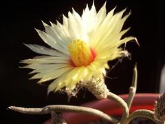 Digitostigma 2 (Totalmente Norestense) Tags: cacti cactaceae digitostigma