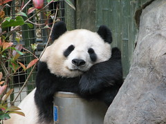 Great pose by Bai Yun (kjdrill) Tags: china california bear sleeping baby station giant zoo panda sandiego sleep bears chinese reserve mama bamboo snooze species endangered sandiegozoo baiyun rightplacerighttime sdzoo