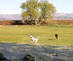 Frosty Morning Romp (Laertes) Tags: stella dog colorado boulder greatdane dane oola