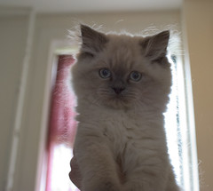 Let there be fur (fiat luxe) Tags: persian kitten rebar himalayan furburger fuzzebub