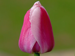 Tulip (Padrone) Tags: pink flower nature beautiful ilovenature colorful bokeh lovely1 gorgeous sensual tulip pedals naturescenes happymothersday 24105f4lis