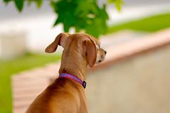The Sentinel (disneymike) Tags: california dog pet pets nikon d2x nikkor taffy murrieta 50mmf14d