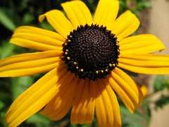 Black Eyed Susan's (Flutterbye_856) Tags: light black green nature beautiful beauty yellow ilovenature spring susan eyed blackeyedsusan canonpowershota620 specnature