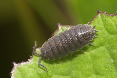 "A Woodlouse • <a style=""font-size:0.8em;"" href=""http://www.flickr.com/photos/57024565@N00/147511033/"" target=""_blank"">View on Flickr</a>"