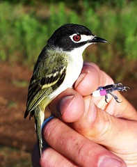 black-capped vireo (Vireo atricapilla) (C.A.Taylor) Tags: bird nature birds animal bill critter wildlife wing beak feathers feather aves endangered ornithology blackcapped vireo atricapilla blackcappedvireo hollowbones vireoatricapilla