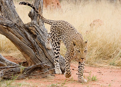 Leopard with Something on its Mind (Andrew Luyten) Tags: africa desert leopard namibia okonjima africat keadventure