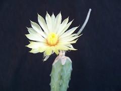 Digitostigma caput-medusae 5 (Totalmente Norestense) Tags: cactus cacti digitostigma