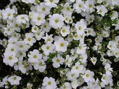 Arenaria Montana (Niall McAuley) Tags: flowers flower garden montana front sandwort arenaria