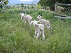 IMG_0142 (deutscherlou) Tags: newzealand 2004 southisland tekapo