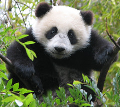Legendary Panda Cub tree climber, Su Lin. (kjdrill) Tags: china california bear baby cute love topf25 station animal giant zoo cub infant panda sandiego fuzzy bears chinese research memory species endangered cuteness elevation elm topf100 colbert pandas opinion permanent stevencolbert oldglory stephencolbert sdzoo sulin scoreme39 fface scomp anawesomeshot fcawinner world100f