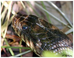Head of Northern Water Snake (YasminesDad) Tags: wild nature canon 350d xt illinois midwest reptile snake ct wildanimals ctpehlivan wwwctppixcom