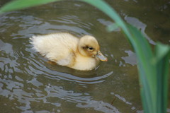 Little yellow duckling (Andrew Pescod) Tags: cute bird nature animal yellow d50 duckling young