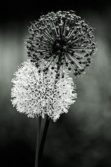 Fireworks Envy (bikeracer) Tags: flowers flower deleteme3 monochrome topf50 savedbythedeletemegroup fireworks bokeh topv1111 saveme10 allium shallowdof interestingness2 interestingness35 i500 explore26may06 chromatoned safedomino