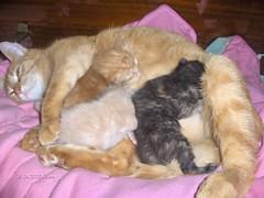 Kitipildid (15) (Siki:)) Tags: cat kitten kass kiisud punane