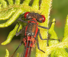 "A Closeup of a Large Red Damselfly (pyrrhosoma nymphula) Male • <a style=""font-size:0.8em;"" href=""http://www.flickr.com/photos/57024565@N00/162979201/"" target=""_blank"">View on Flickr</a>"
