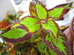 Coleus 'Saturn's Rings'