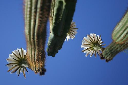 Ceres Cacti Triplicate