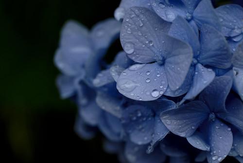 a hydrangea