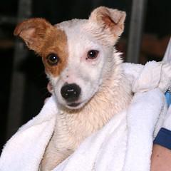 dog puppy virginia jackrussell charlottesville