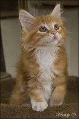 Angus (wendyophoto) Tags: cats animals angus kittens mainecoon wendyo