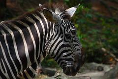 Zoo 01 (dubbie) Tags: animals zoo singapore zebras canonef28135mmf3556isusm scoreme36 xgf02