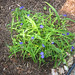 spider wort plant from joanne