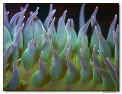 Sea Anemone (fcphoto) Tags: california new blue usa black color macro green nature topf25 water colors animal animals yellow closeup catchycolors dark aquarium bravo different purple unitedstates natural minolta quality background flash alien special flashphotography anemone fv10 unusual seaanemone nicecolors montereyaquarium differentview iloveit alienlike i500 interestingness334 123faves fcphoto animalkingdomelite specialcolors unusualform newangle agical toobloodyclose explore01sep06