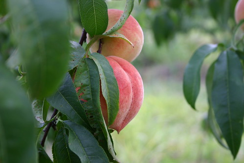 Peaches on the tree