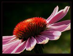 Echinacea (Rainer Fritz) Tags: flowers flower macro echinacea