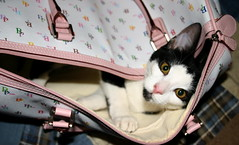 kitten in Kitten's travel bag