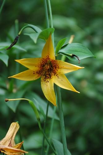Brooklyn Botanic Garden, Native Flora Garden, Canada Lily