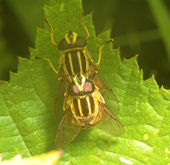 """Mating Hoverflies (helophilus pendulus) • <a style=""""font-size:0.8em;"""" href=""""http://www.flickr.com/photos/57024565@N00/188722954/"""" target=""""_blank"""">View on Flickr</a>"""