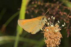 "Small Skipper Butterfly (thymelicus s(5) • <a style=""font-size:0.8em;"" href=""http://www.flickr.com/photos/57024565@N00/192579350/"" target=""_blank"">View on Flickr</a>"
