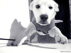 Ozzy b&w (Guillermo Salinas) Tags: chile santiago dog pet art puppy guillermo salinas perro mascota ozzy chinos fe120 decoratedanimal