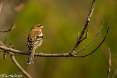 Pinzón vulgar Common Chaffinch (Fringilla coelebs) (Corriplaya) Tags: birds corriplaya aves pinzónvulgar commonchaffinch fringillacoelebs