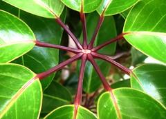 Stems of a Plant (Scott Kinmartin) Tags: plant nikondigital hdr schefflera plantstem abigfave plantart helluvashot brassaiaactinophylla plantbranch