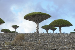 yem_1511 (Peter Hessel) Tags: yemen socotra soqotra jemen dragonbloodtree dracaenacinnabari