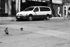 Finding Food (sonton999999) Tags: blackandwhite bw pigeon 50mm14 summilux leicam8 leicabw leicablackandwhite m8bw leicam8bw
